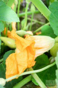 Honey-Brie Squash Blossoms